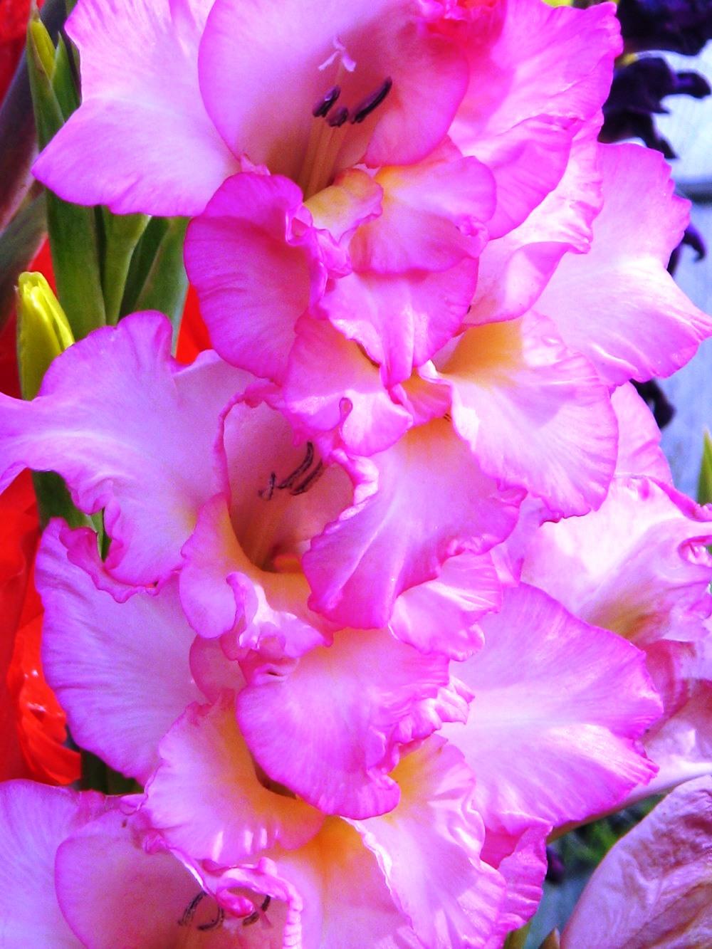 Красные гладиолусы : сорта и страстные названия роскошных цветов 61